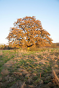 Single oak tree standing in a field in winter, Sutton, Suffolk, England, UK