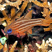 Splitband Cardinalfish shelter in branching corals or recesses in reef. Picture taken Beangabang Bay, Pantar, Indonesia.