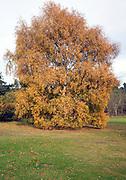 Silver birch tree with orange brown autumn leaves, Shottisham, Suffolk, England