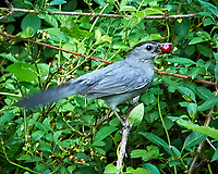 Gray Catbird with a red berry. Image taken with a Nikon D300 camera and 80-400 mm VR lens.