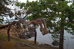 Crazy Tree, Jones Island, San Juan Islands, Washington, US