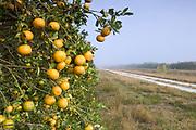 Orange Grove.Immokalee.Florida