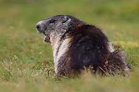 Alpine Marmot (Marmota marmota) shouting. Hohe Tauern National Park, Carinthia, Austria