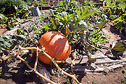 Giant pumpkin growing in vegetable plot on allotment garden