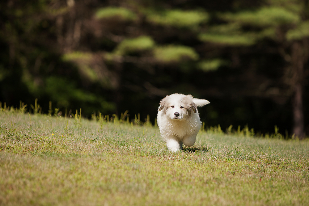 Great Pyrenees Puppy trotting towards the camera