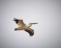 American White Pelican in flight. Biolab Road, Merritt Island National Wildlife Refuge. Image taken with a Nikon Df camera and 300 mm f/4  lens (ISO 280, 300 mm, f/4, 1/1250 sec).