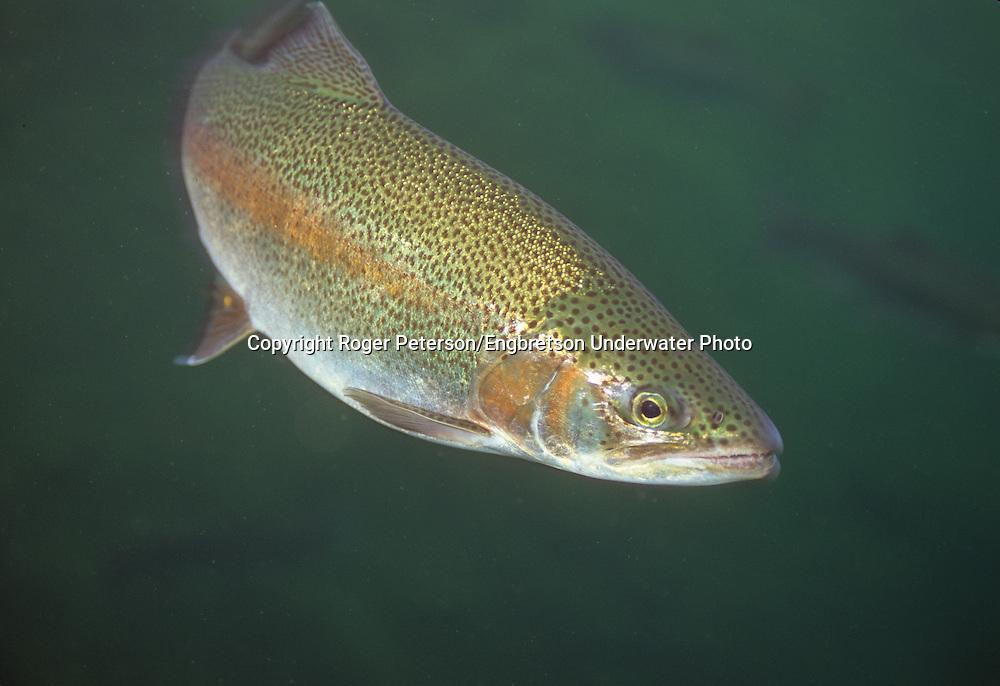 Steelhead Trout, Flagg River, WI<br /> <br /> Roger Peterson/ENGBRETSON UNDERWATER PHOTO
