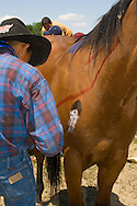 Young Crow Indian paints designs on horse for celebration, Crow Indian Reservation, Montana
