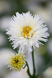 Leucanthemum × superbum 'Shapcott Summer Clouds'. Shasta daisy