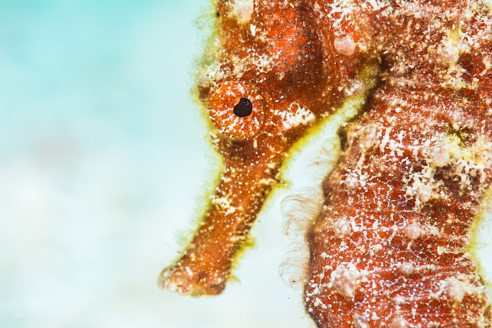 Portrait of a Longsnout seahorse (Hippocampus reidi) on light sand. Image made off Eleuthera, Bahamas.