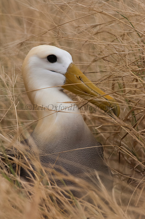 Waved Albatross (Phoebastria irrorata) in long grass<br /> Punta Suarez, Española Island, GALAPAGOS ISLANDS<br /> ECUADOR.  South America<br /> ENDEMIC TO GALAPAGOS. <br /> CRITICALLY ENDANGERED<br /> However a few pairs nest on Isla de la Plata near the Ecuadorian mainland. +-12,000 pairs breed on the Island of Española in Galapagos. They only come ashore between April and December to breed, otherwise they spend their entire life at sea. Once an albatross chick fledges and goes to sea it will remain there until it is 4 years old before returning to land to breed for the first time. Albatross mate for life and live about 40 years. They form part of the family of tube-nosed birds.