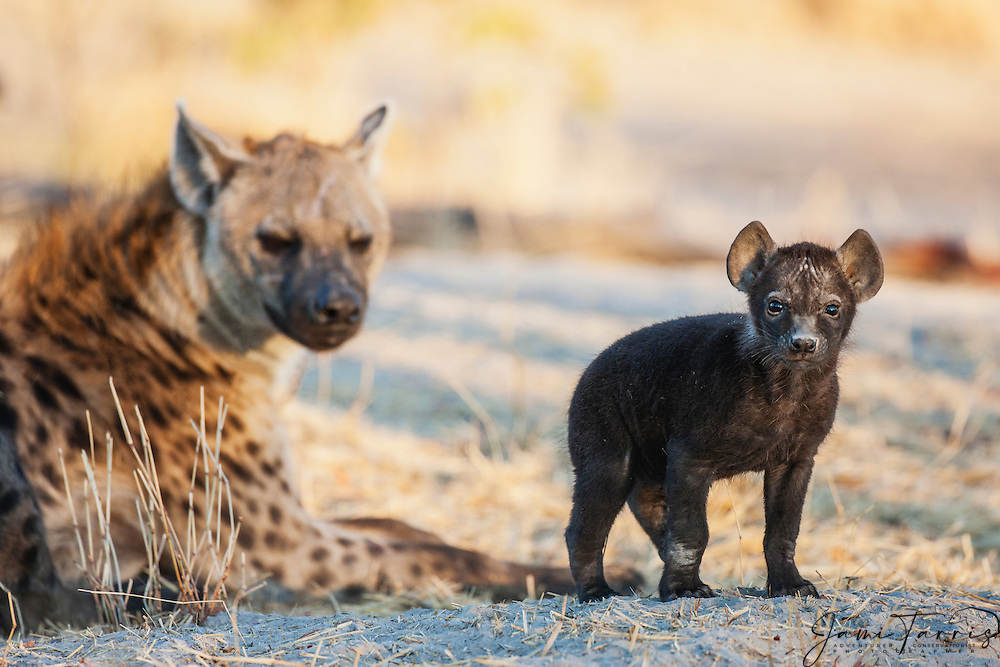 A small hyena cub (Crocuta crocuta) bravely stands and gives eye contact with its mother close behind ,Khwai River, Botswana, Africa
