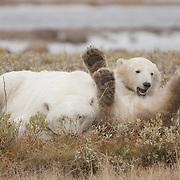 Polar Bear (Ursus maritimus) mother and  cub south of Churchill, Manitoba, Canada.