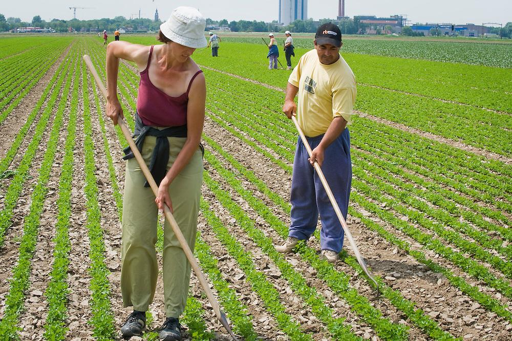 Nederland, Zevenbergen, 25 juni  2009.Biologisch akkerbouwbedrijf van Beek. Handmatig schoffelen tussen peterselie door buitenlandse werkers...Foto (c) Michiel Wijnbergh
