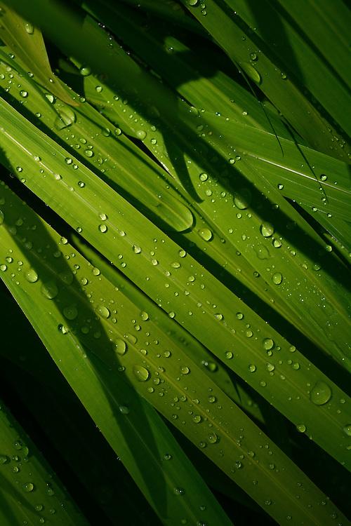 Raindrops on leaves (Crocosmia)
