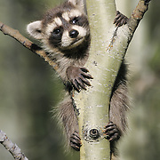 Raccoon (Procyon lotor) young on a sapling in Montana. Captive Animal