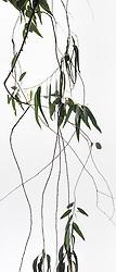 Eucalyptus camaldulensis #9