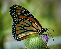 Monarch Butterfly on a Thistle flower. Image taken with a Nikon N1V3 camera and 70-300 mm VR lens