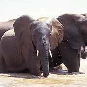 African Elephant, (Loxodonta africana)  Cooling off in Mara River. Masai Mara Game Reserve. Kenya. Africa.