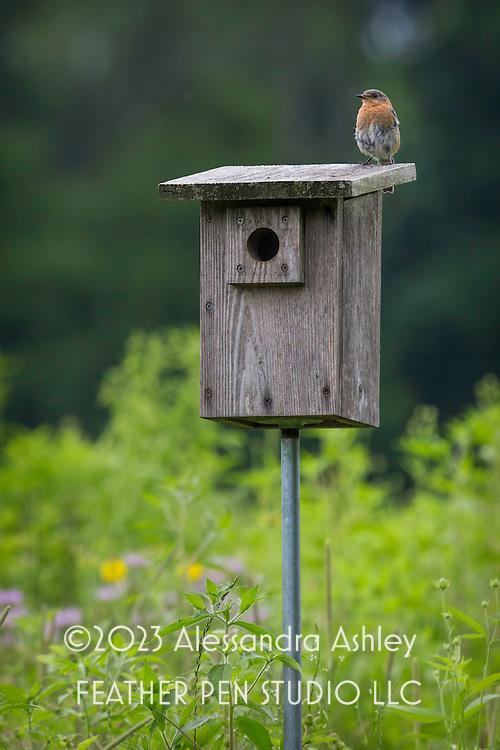 Eastern bluebird perched atop nesting box amid prairie wildflowers.  Central Ohio tallgrass prairie.