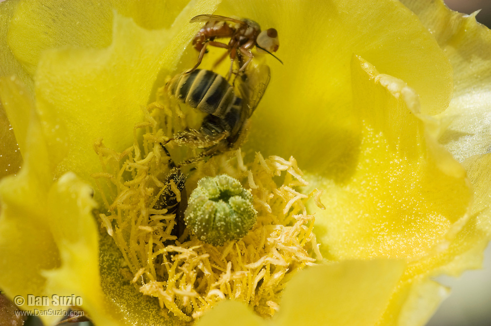 Thick-headed fly, Conopidae (probably Zodion sp.) attacking Leafcutter bee, Lithurgus sp., on flower of Engelmann's prickly pear, Opuntia phaeacantha discata. Female Conopid flies wait in ambush for bees, then dart out and quickly thrust an egg through the membrane between the abdominal plates of the bee. The fly larva develops inside the abdomen of the host bee, eventually consuming its internal tissues. Saguaro National Park, Arizona