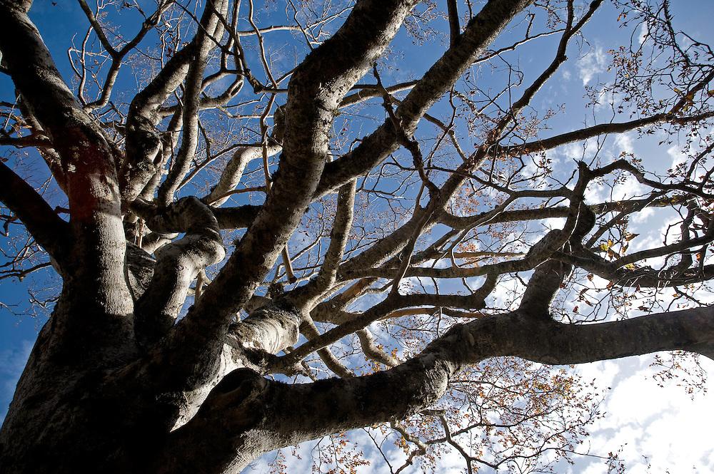 Greece, Pindos Mountains, Pindos NP, Valia Calda, Beech trees without leafs in Valia Calda