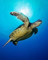 Green Sea Turtle, Chelonia mydas, off Kona Coast, Big Island, Hawaii, Pacific Ocean