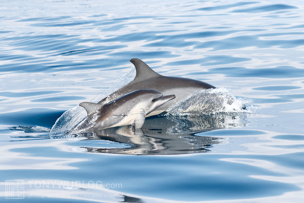 Juvenile spinner dolphin (Stenella longirostris) surfacing next to its mother