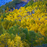Fall-colored aspens glow in Bishop Creek Canyon in the eastern Sierra Nevada above Bishop, California.