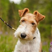 20150613 Penny Fox Terrier