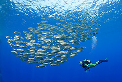 Kuhlia mugil, Schwarm vom Fünfband-Fahnenschwanz mit Taucher, Shoal of Barred Flagtail fishes and scuba diver, Brother Inseln, Rotes Meer, Ägytpen, Brother Islands, Brothers, Red Sea, Egypt