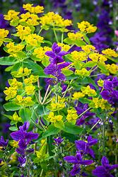Salvia viridis 'Blue' with Euphorbia oblongata