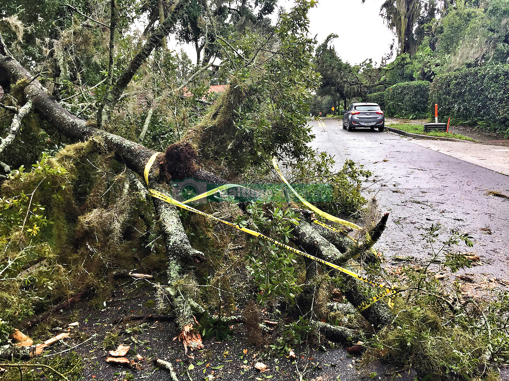 October 7, 2016 - Winter Park, FL, USA - A tree downed by Hurricane Matthew lies across Via Tuscany street on Friday, Oct. 7, 2016 in Winter Park, Fla. (Credit Image: © Joe Burbank/TNS via ZUMA Wire)