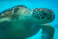 Green sea turtles, Chelonia mydas mydas, are found throughout the world, usually found in tropical waters. The Hawaiian green turtle is distinct from other green sea turtles  This species was in a steep decline since the 70s because of harvesting of turtles and eggs but the population has grown over the past thirty years after protection began.