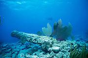 40 Cannon Wreck, Chinchorros Banks, Cozumel, Yucatan Peninsula, Mexico ( Caribbean Sea )