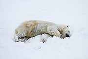 polar bear (Ursus maritimus), in the snow. Photographed in the arctic circle, Lapland, Scandinavia in February