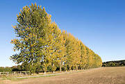 Line of trees blue sky autumnal colours, Milestone House, near Calne, Wiltshire, England, UK