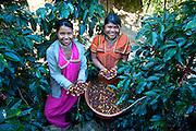 Panamanian Indian Coffee Pickers.San Marcos de Terrazu.Costa Rica