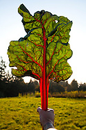 Meriwether's Restaurant is  one of the few restaurants operating their own 5 acre vegetable farm on Skyline Blvd. in NW Portland.  Throughout the 2009 harvest, the restaurant has served over 8000 pounds of Skyline Farm produce.  Ruby red chard shows off it's blood red veins in the afternoon sunlight