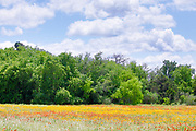 Colorful Field of Wildflowers in Texas