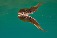 Bullfrog Tadpole<br /> <br /> Isaac Szabo/Engbretson Underwater Photo