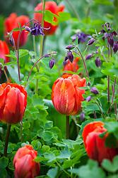 Tulipa 'Arjuna' with Aquilegia vulgaris