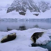 Leopard Seal (Hydrurga leptonya) laying on an ice flow on the Antarctic Peninsula.
