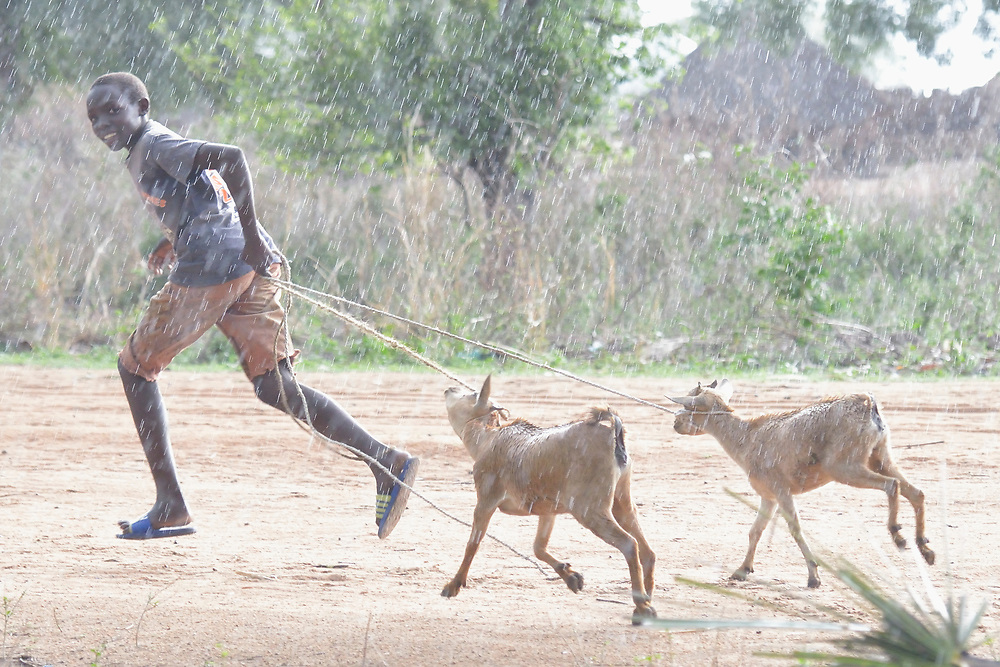 A boy runs through the rain with goats in the Rhino Refugee Camp in northern Uganda. As of April 2017, the camp held almost 87,000 refugees from South Sudan, and more people were arriving daily. About 1.8 million people have fled South Sudan since civil war broke out there at the end of 2013. About 900,000 have sought refuge in Uganda.