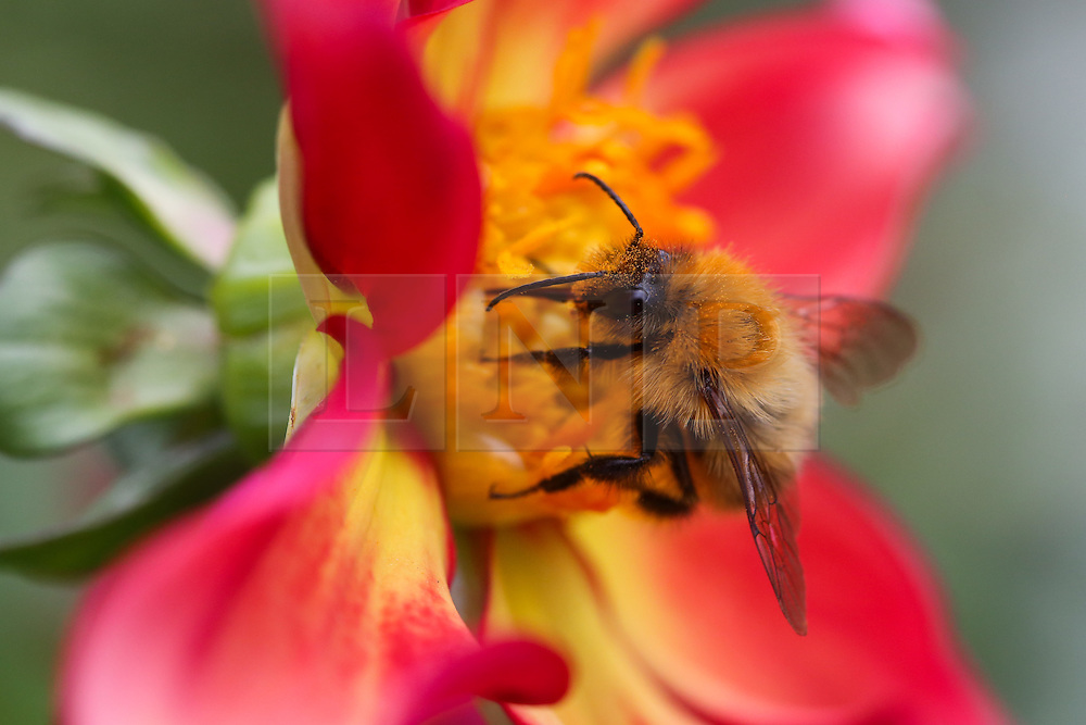 © Licensed to London News Pictures. 01/09/2016. Harrogate, UK. A bee collects nectar from a colourful flower at RHS Garden Harlow Carr in Harrogate, North Yorkshire. Bees are very busy this time of year as they work hard to collect enough nectar to survive through the winter. Today marks the first day of autumn and the end of summer. Photo credit : Ian Hinchliffe/LNP