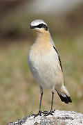 Wheatear, Oenanthe oenanthe, male, summer plumage, stood on rock, Sutherland, Highland.<br /> bird; birds; thrush; thrushes; watching; watch; moorland;<br /> moor; look; looking; alert; grey; green; bright;<br /> one; alone; lone; single; animal; animals; wildlife; nature;