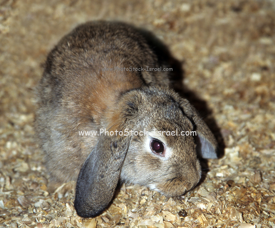 Lop rabbit or lop-eared rabbit refers to any rabbit with ears that droop, as opposed to being carried erect. A number of rabbit breeds are characterized by such lop ears. Abnormalities in the skull of a half-lop rabbit were studied by Charles Darwin in 1868.