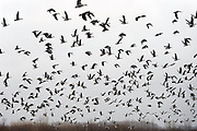 Nederland, Ubbergen, 15-1-2014Wilde grauwe ganzen in de Ooijpolder. Elk jaar overwinteren tienduizenden ganzen in de Gelderse Poort en de uiterwaarden langs de rivier de Waal. Zij voeden zich met gras, vaak tot ergernis van boeren, veehouders die hun koeien in de lente en zomer buiten willen laten grazen.Foto: Flip Franssen/Hollandse Hoogte