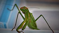 Praying Mantis. Image taken with a Fuji X-T2 camera and 80 mm f/2.8 macro lens (ISO 200, 80 mm, f/11, 1/175 sec).