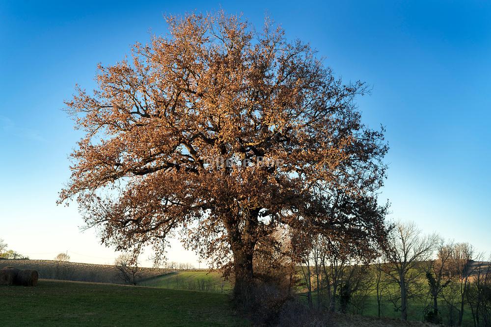 big oak tree in rural landscape setting with fading sunlight